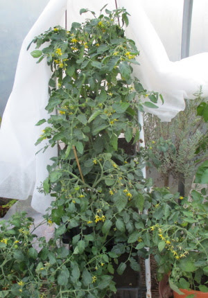 Tomato Tumbler plants on stepladder with fleece folded back during the day