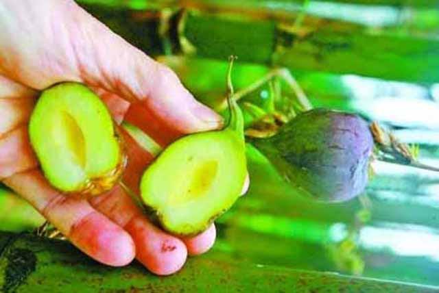 Cây trồng 10 năm mới ra quả quý hơn vàng, có tiền cũng khó mua vì đòi hỏi cả may mắn - 6