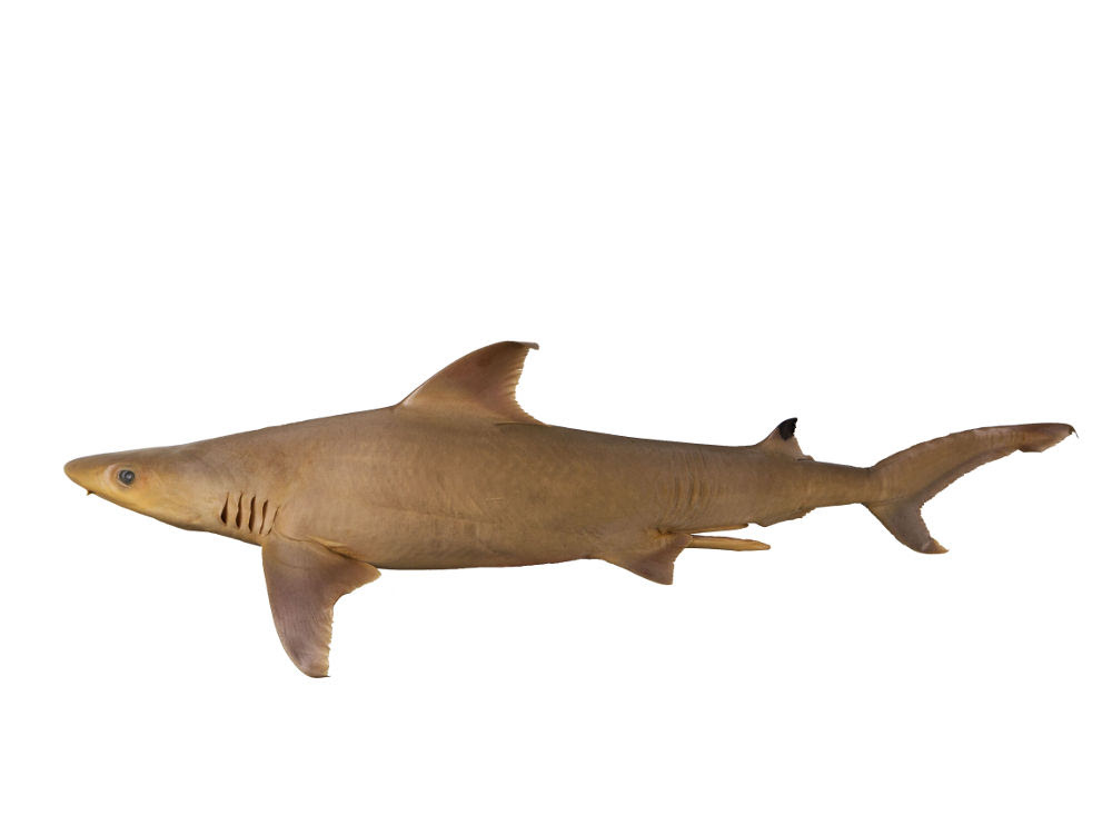 Carcharhinus humani WHITE & WEIGMANN, 2014, holotype, ZMH 26030, adult male 828 mm TL, © Simon Weigmann, University of Hamburg
