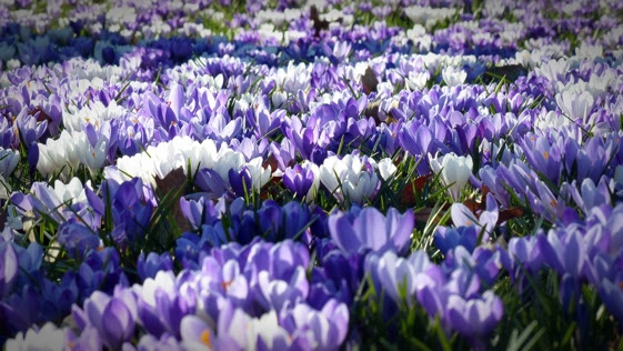 A field of purple and white flowers  Description automatically generated with medium confidence