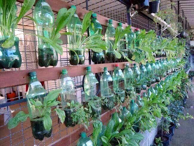 rau sạch, trồng rau sạch, trồng rau trong chai lọ, trồng rau trên sân thượng, rau thủy canh
