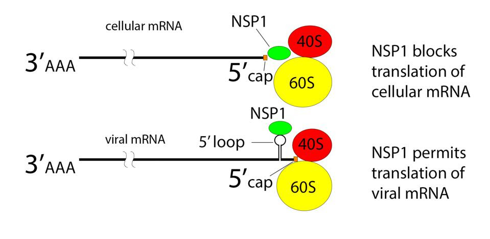 NSP1 blocks ribosome entry of cellular messenger RNA.