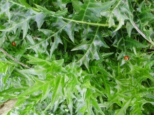 Ladybirds sunning themselves on Acanthus spinosus leaves