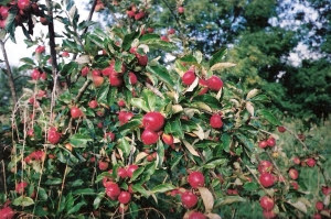Productive 'Katy'- an early non-keeping apple.