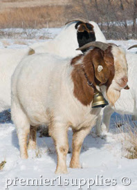 Boer modeling a Ram Bell and collar