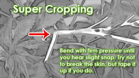 How to super crop your plants.