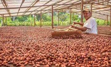 Al 2030 Perú podría producir 250 mil toneladas de cacao