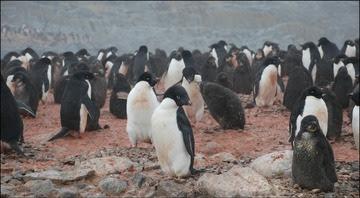 Adelie penguins G Saba