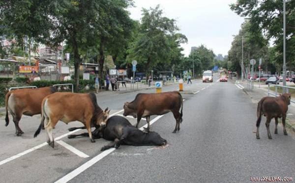 Những con bò cứ quanh quẩn bên xác bạn.