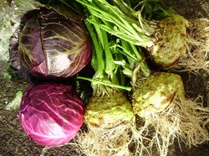 Early red cabbage 'Red Rookie' & celeriac 'Albin'