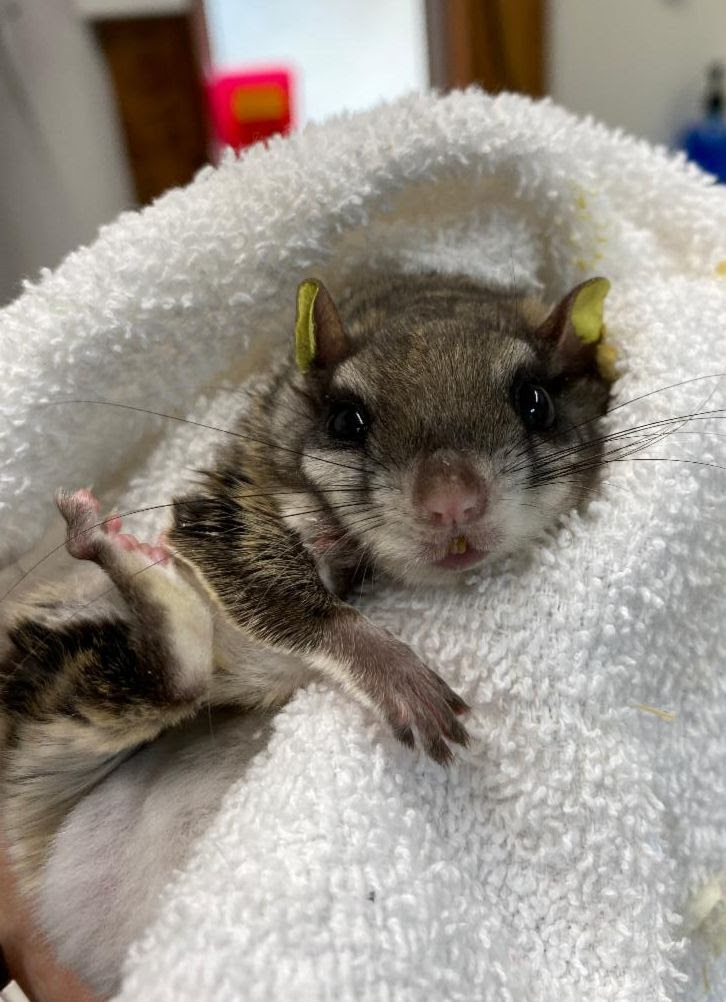 Southern Flying Squirrel rescued by Appalachian Wildlife Refuge