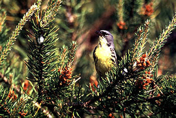 A Kirtland's warbler is shown in a jack pine tree.