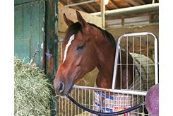 Maximum Security in his stall at Monmouth Park