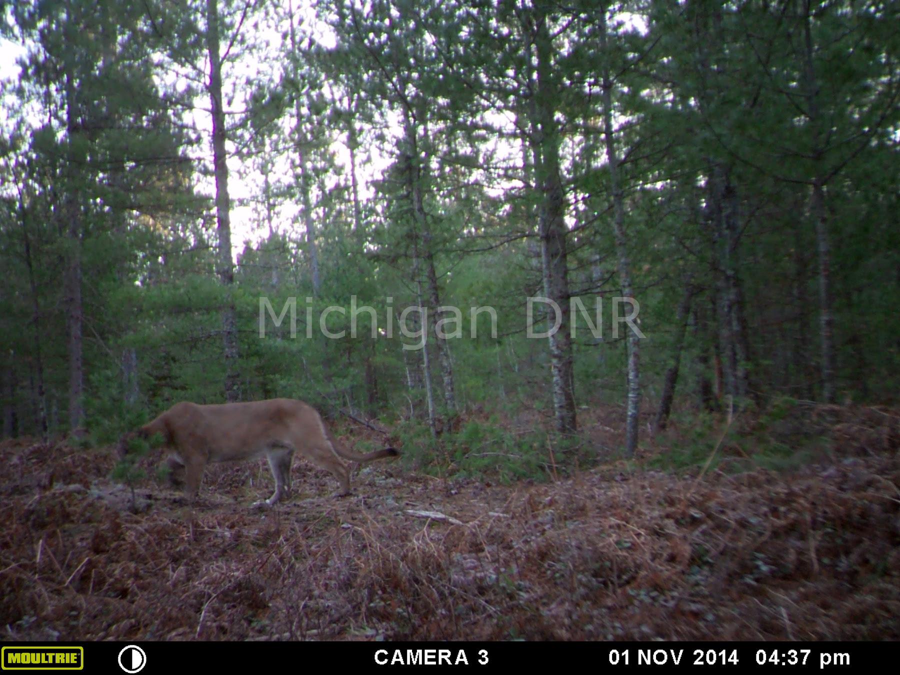 cougar photo Mackinac County