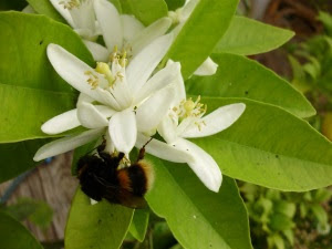 Bumble bee on orange blossom in the tunnel - give thanks every time you see a bee - without them we would be very hungry!