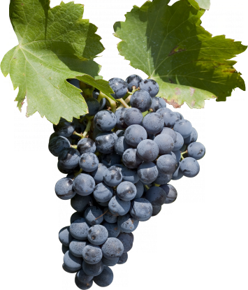 Image result for grenache grapes