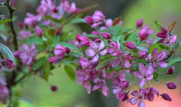 A closeup image of pink crabapple blooms