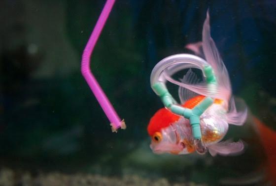 Boia dá estabilidade e canudo ajuda na alimentação de peixinho com deficiência