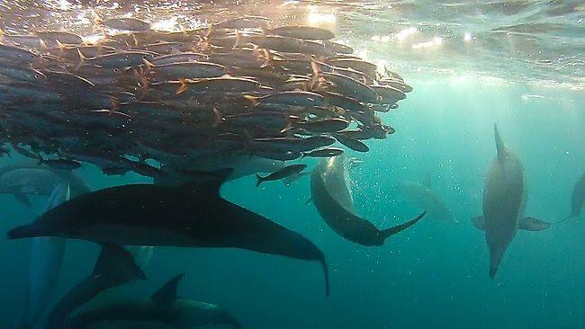 redbait_and_dolphins2_JonathanPoyner.jpg