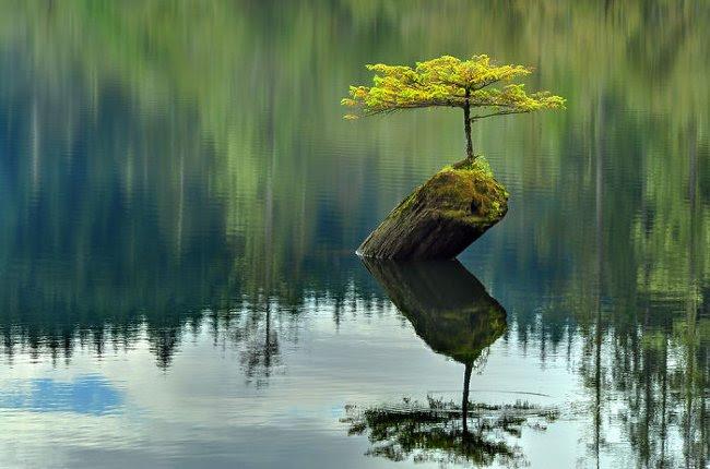 Dù chỉ sống trên một khúc gỗ mục trôi nổi nhưng lại mang dáng bonsai nghìn tuổi