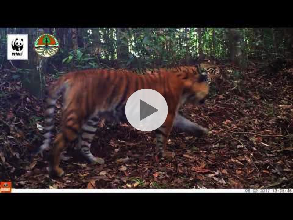Camera Trap - Sumatra