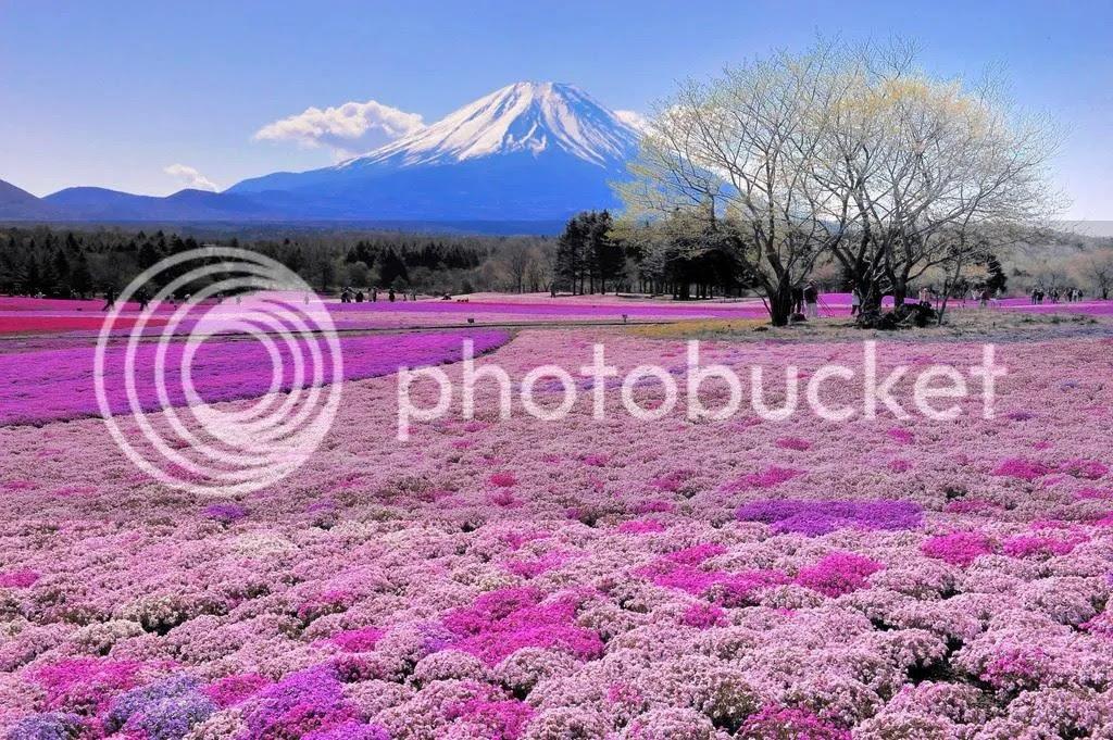 photo shibazakura-flower_zps8grydyjj.jpg