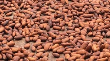 Producción mundial de cacao alcanzaría los 5.141 millones de toneladas en la campaña 2020/2021