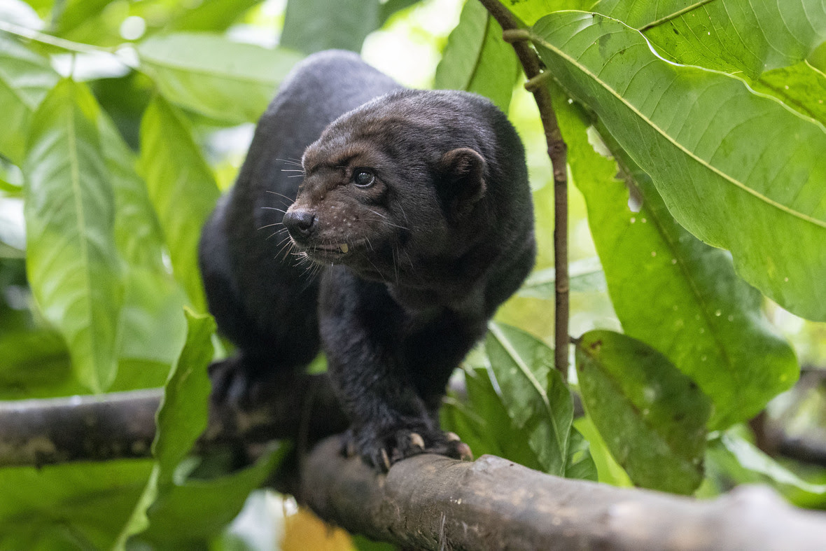 Black tayra approaching camera, looking off to the side