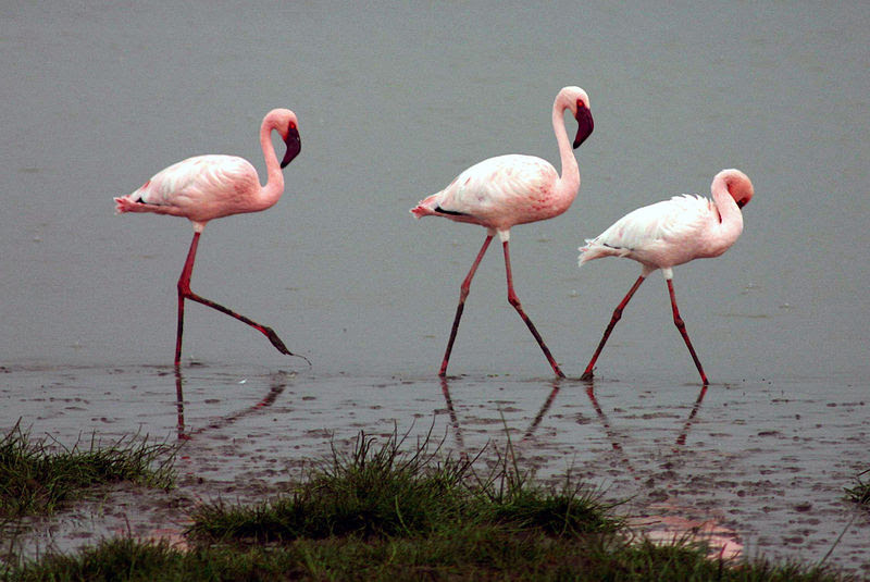 File:Lesser-flamingos.jpg