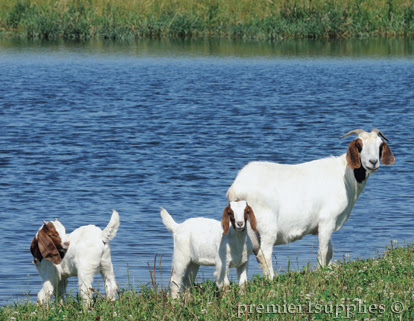 Goats by a lake