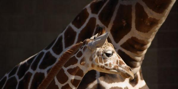 Stop Zoo's Plan to Kill a Second Healthy Giraffe