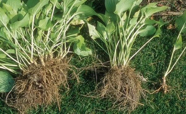10-tips-para-la-division-de-plantas-perennes-05