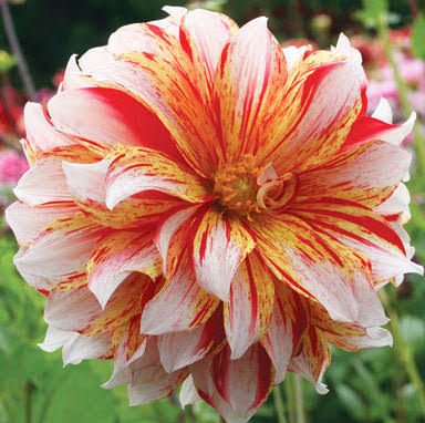 pink, white, and yellow dahlia flower