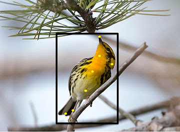 Photo: Blackburnian Warbler by Christopher L. Wood
