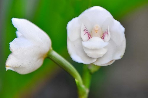 holy-ghost-orchid