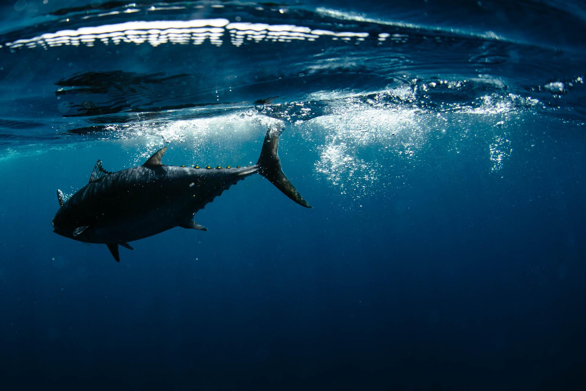 TRM tuna