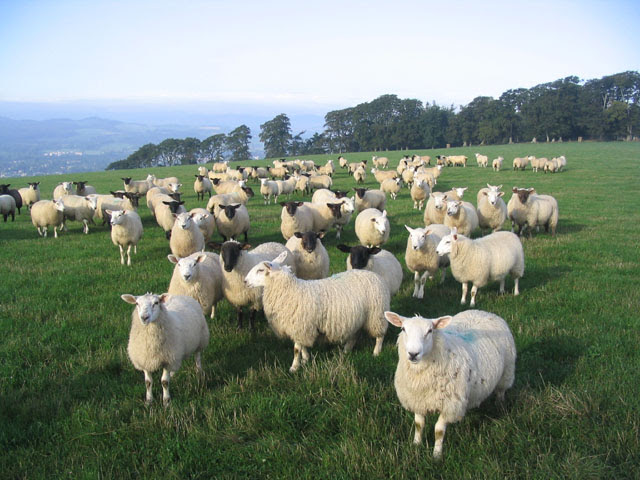 File:Sheep at Chester Knowe near Gattonside - geograph.org.uk - 241851.jpg