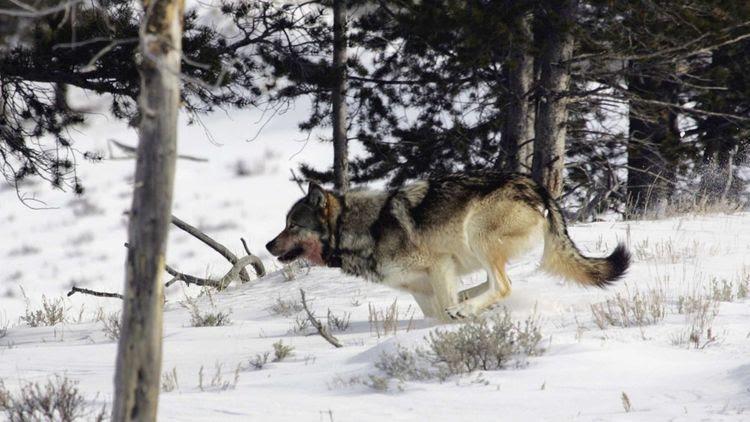 Un loup gris aperçu dans le parc national de Yellowstone, en février2006.