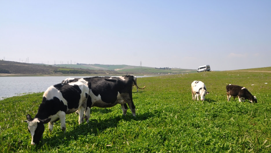 Tahir Babacan's cows graze near the waters of the Sazlibosna river, which was widened in the 1990s by a downstream dam. For older residents of the town, Kanal Istanbul is the second time they have faced a looming eminent-domain project.