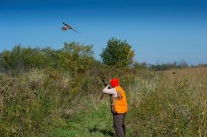 hunter prepares to shoot fleeing pheasant