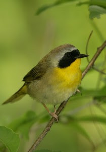 Common Yellowthroats Are among the Most Frequent Collision Victims. Photo © Steve Nanz