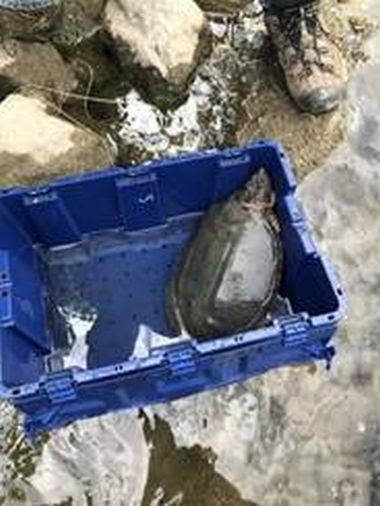 large turtle in blue crate being prepared for release into water