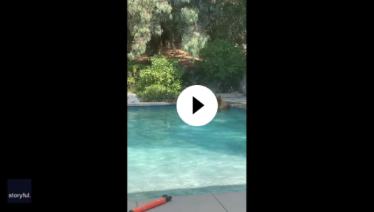 Watch this excited pup want to join bears playing in family pool