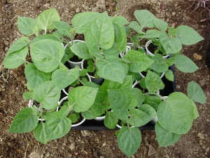 Young Physalis (cape gooseberry) plants - ready for planting