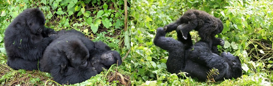 Group of Gorillas Approach Man in Ugandan Forest