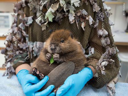 The Orphaned Beaver © Suzi Eszterhas