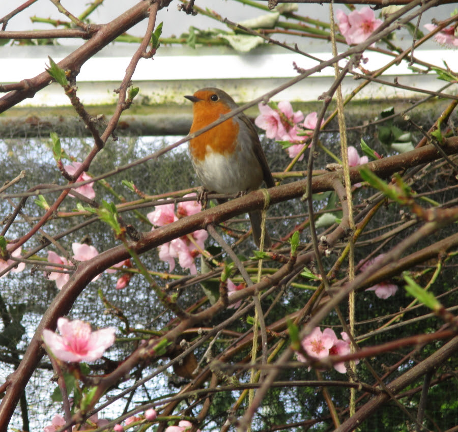 The latest 'must have' accessory in any organic polytunnel potager - a Robin singing in your peach tree. A Star is born!