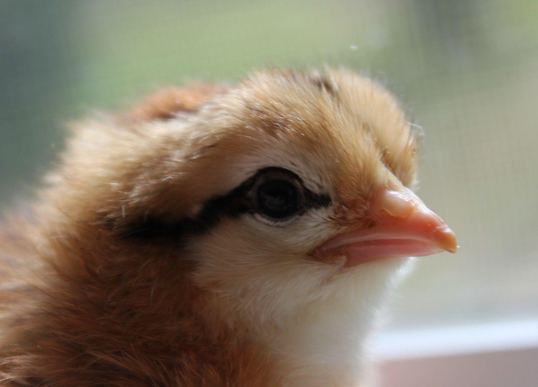 http://cdn.backyardchickens.com/d/d9/d90bfd42_IMG_2876.jpeg
