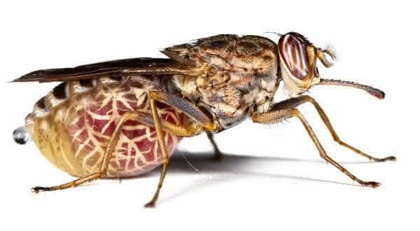 Moscas TseTse entre os insetos mais perigosos do mundo