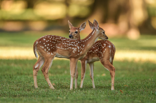 Two identical fawns standing in a field.